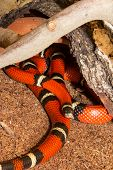 Close up of a Sinaloan Milk Snake or Lampropeltis triangulum sinaloae with its distinctive red colouring and banding or rings in captivity in a terrarium poster