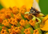 An Ambush Bug perched on a flower petal. poster