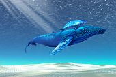 Mom and baby Humpback whales swim through clear tropical waters ** Note: Slight blurriness, best at smaller sizes poster