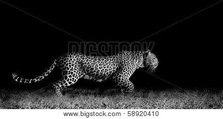Leopard Running