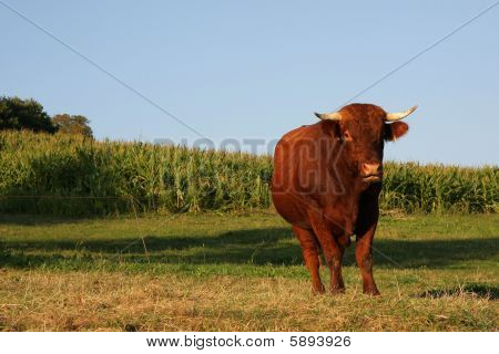 a colourful bull photographed in the summer sun on a commercial acre with blue sky, grassland and a corn field in the background poster