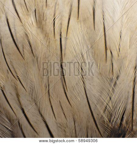 Brahminy Kite Feather