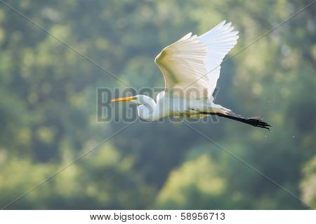 Great White Egret Flying to a new fishing location in soft focus poster