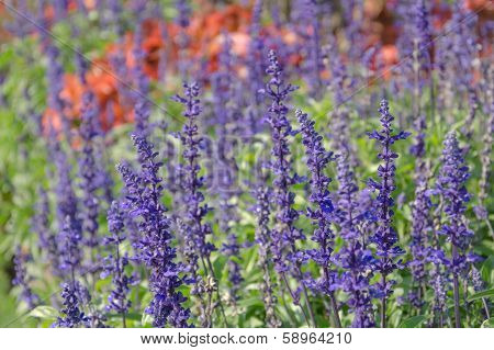 Side View Of Lavender Purple