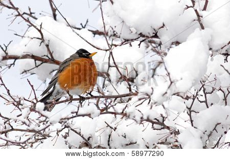 American robin in snowy tree