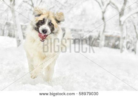 Happy Romanian Shepherd Running In The Snow