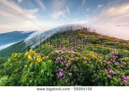 Roan Highlands Catawba Rhododendron Foggy Sunrise