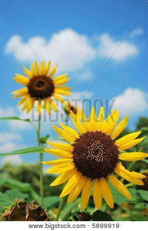 Sunflowers In Full Bloom.