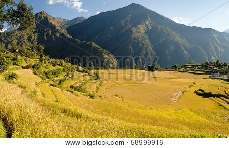 yellow rice fields and village in Nepal poster