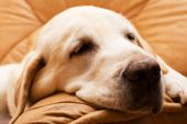 mature yellow labrador female sleeping in armchair poster