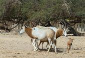 Family of Sahara scimitar Oryx (Oryx leucoryx) in Hai-Bar nature reserve near Eilat, Israel poster