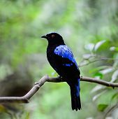 Blue bird a male Asian Fairy Bluebird (Irena puella) back profile poster