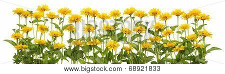 Mini Sunflowers Isolated Line