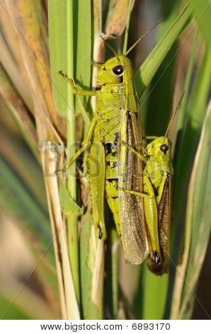 Marsh Lurkers - Stethophyma-grossum