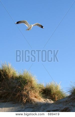 Gull flying over a sandhill at a beach poster