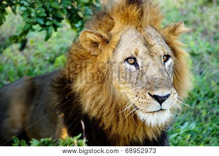 Scarred Male Lion