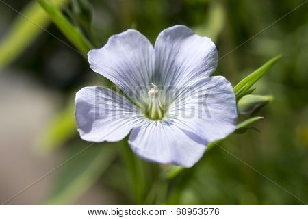 Flax, Linum perenne