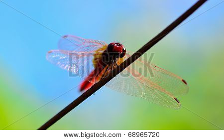 Worm's Eye View  Of Red Tail Dragonfly  Standing On Wire