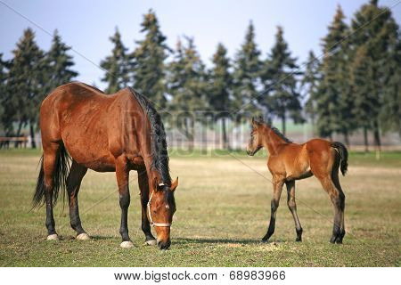 Little colt following mother