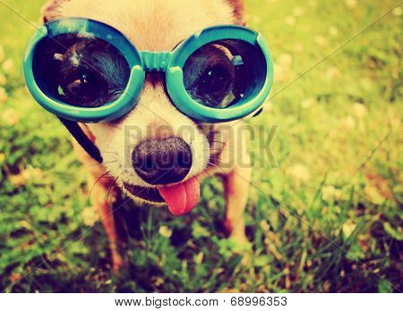 a cute chihuahua wearing goggles in the grass with his tongue out toned with a retro vintage instagram filter