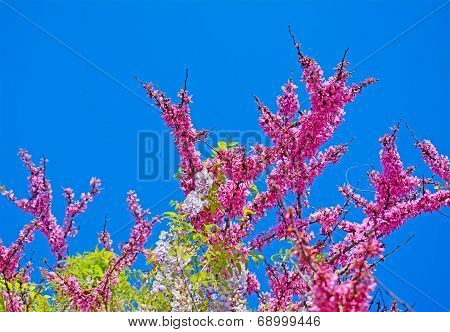 judas tree Flowers On A Clear Day