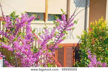 judas tree In The Garden
