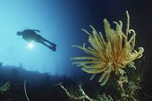 Underwater shoot of a female scuba diver swimming by coral reef and feather star poster