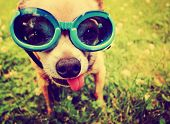 a cute chihuahua wearing goggles in the grass with his tongue out toned with a retro vintage instagram filter  poster