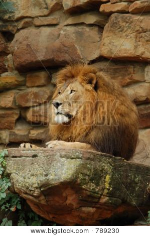 Majestic Lion Profile