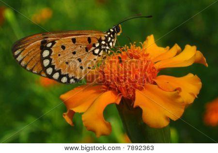 Butterfly - Orange on Orange
