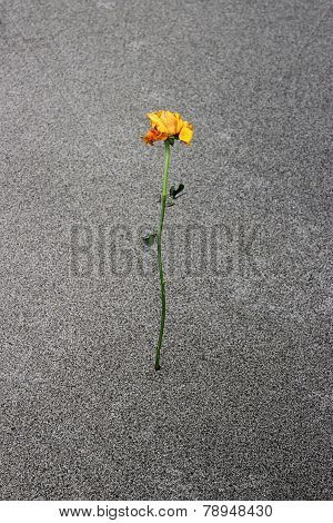 Yellow Sad Rose