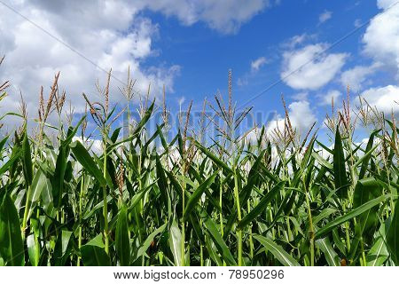Corn plants against blue and white sky