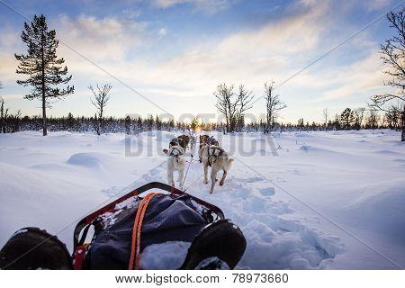 Dog sledding with huskies in beautiful sunset
