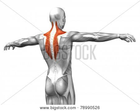 Concept or conceptual 3D Trapezius or back human anatomy or anatomical and muscle isolated on white background