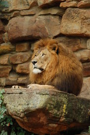 Majestic Lion Profile