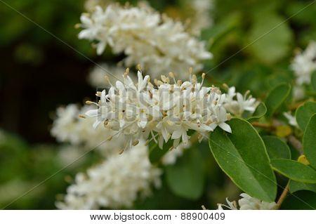 Privet Blooms Closeup (ligustrum Vulgare)