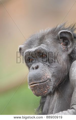 Chimp Profile