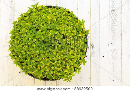 Oregano Aureum Herb Spicy Plant Green Yellow Leaves White Background