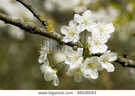 White cherry blossoms in the spring. the delicacy of white cherry blossoms