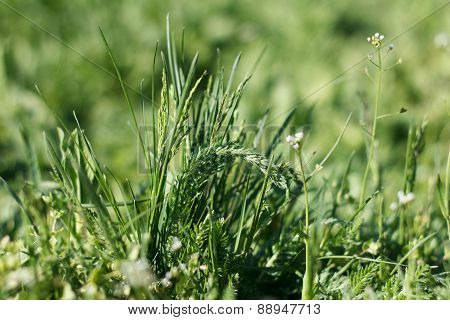 Field Florets In A Grass
