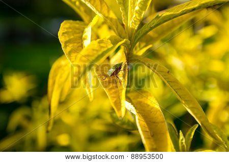 Green shield bug on Buddleja