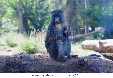 Young Mandrill Male With A Fruit