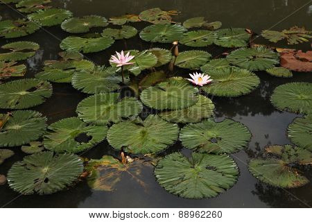 Lotus in the Bogor Botanical Gardens, West Java, Indonesia.