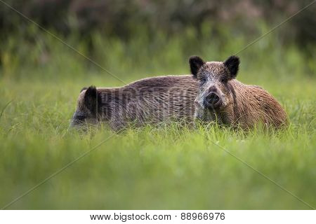 Wild boars in the wild
