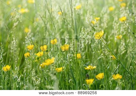 Buttercup flowers in spring