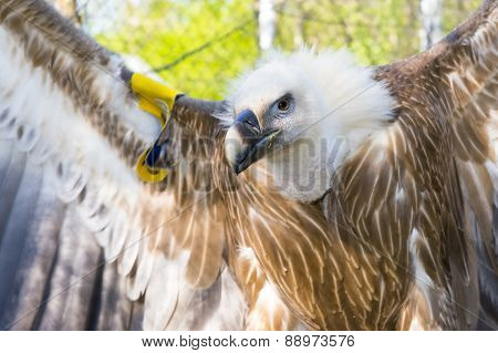 European Griffon vulture (Gyps fulvus) half body poster