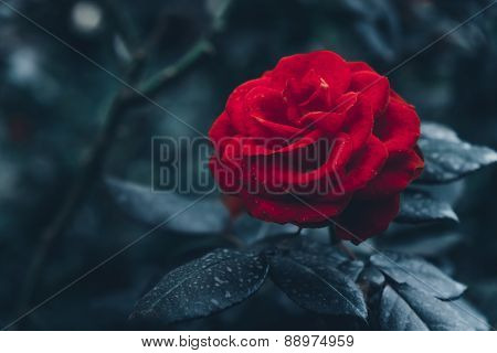 Art floral dark green-blue background with red rose