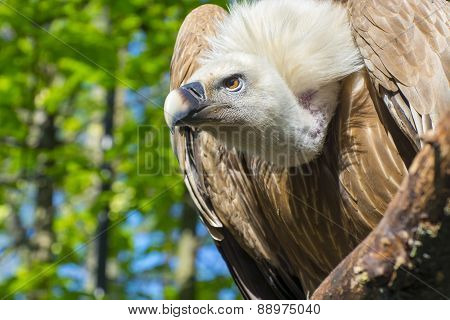 Portrait of an European Griffon vulture (Gyps fulvus) poster