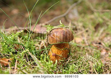 Xerocomus mushroom
