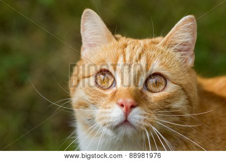 lovable red tiger cat